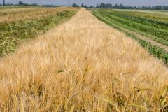 Wheat spikelets in the field in Germany stock images