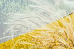 Wheat spikelets. Harvest. Flowering buckwheat field. Yellow wildflowers. Nature, field, agriculture, farm life. Double exposure. Wheat spike-lets. Flowering Stock Photos