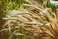 Wheat spikelets. Harvest. Nature, field, agriculture, farm life. Wheat spikelets. Harvest and farm life. Landscape. Agricultural buisness.  Beautiful nature Royalty Free Stock Photo