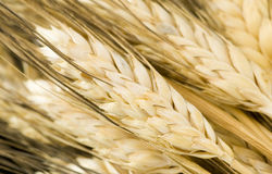 Wheat spikes Stock Images