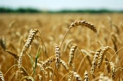 Wheat spikes Royalty Free Stock Photo