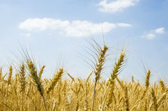 Wheat spikes. Ripened spikes of wheat field against a clear blue sky Stock Photography