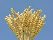 Wheat spikes and blue sky background Stock Image