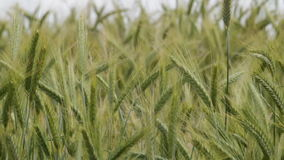 Wheat spikes crop stock footage