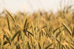 Wheat spikes crop Royalty Free Stock Images