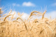 Wheat spikes in front of blue sky Stock Photo