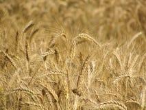 Wheat spikes Stock Photos