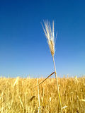 Wheat spikes. royalty free stock photography