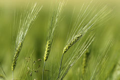 Wheat spikes in spring. Abstract view of agricultural field Stock Photos