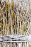 Wheat spikes tied with the rope Stock Image