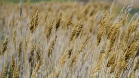 Wheat spikes in the wind royalty free stock images