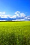Wheat in springtime Stock Photo