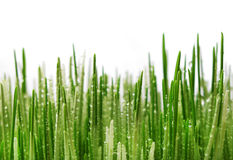 Wheat sprout Royalty Free Stock Images