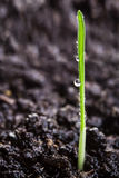 Wheat sprout Royalty Free Stock Photography