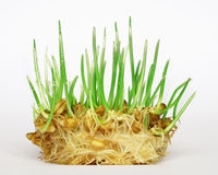 Wheat sprouting. With droplets on leaves Stock Image