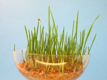 Wheat sprouts Royalty Free Stock Image