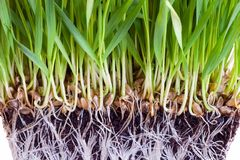 Wheat sprouts Royalty Free Stock Photos