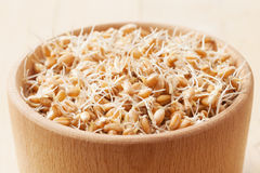 Wheat sprouts in bowl Royalty Free Stock Photo