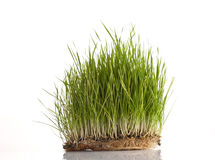 Wheat sprouts isolated on white. Fresh green wheat patch isolated Royalty Free Stock Photos