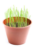 Wheat sprouts in a pot. Stock Images