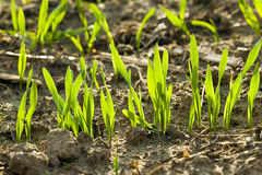 Wheat sprouts Stock Photography