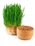 Wheat sprouts and wheat seeds in the wooden bowl Stock Images