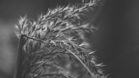 Wheat Stalk Stock Image