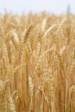 Wheat stalk Royalty Free Stock Photos