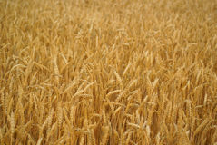 Wheat Stalk Stock Photography
