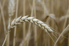 Wheat stalk. Close up of a wheat stalk in a field stock image
