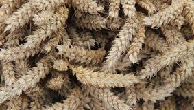 Wheat Stalk Ears. Royalty Free Stock Photos
