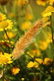 Wheat stalk in a field of flowers. Wild wheat stalk in a field of yellow flowers near paredes da victoria beach - Portugal Royalty Free Stock Photography
