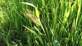 Wheat Stalk stock video