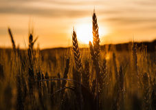 Wheat Stalk Silhouette III Stock Image