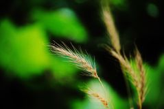 Wheat stalk. Single close up of an  wheat stalk Royalty Free Stock Images