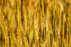 Wheat Stalks. Close-up detail of ripe wheat stalks Royalty Free Stock Images