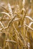 Wheat stalks Stock Photos