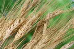 Wheat Stalks. Golden stalks of wheat growing Stock Images