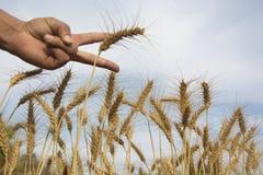 Wheat Stalks Royalty Free Stock Photos