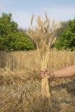 Wheat Stalks Stock Image