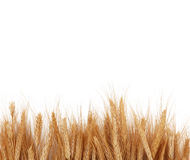 Wheat Stalks Boarder. Wheat Stalks Creating Boarder Over White Royalty Free Stock Images
