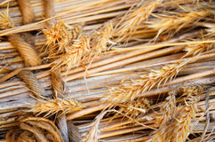 Wheat stalks. Close up of dry wheat stalks and ripened fruit Royalty Free Stock Photo