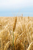 Wheat Stalks. Mature wheatear, blurred field of wheat, part of the stem against the sky Royalty Free Stock Photography