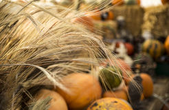 Wheat stalks and pumpkins. A colorful fall scene in a greenhouse. Shafts of wheat in foreground with colorful pumpkins and squash in background Stock Photo
