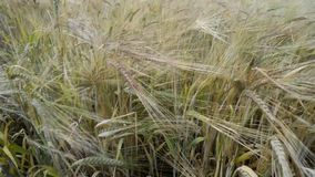 Wheat stalks shaked. Wheat stalks waved by light wind by summer stock footage