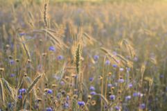 Wheat Stalks and Wildflowers in Sunlight Royalty Free Stock Photography