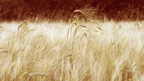 Wheat stalks on wind stock video footage