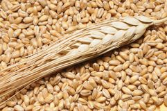 Wheat steam on grains Stock Photos