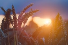 Wheat steams in evening sunset light flares. Natural light back lit. Beautiful sun flares bokeh.  Royalty Free Stock Photos