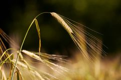 Wheat Stem Royalty Free Stock Photos